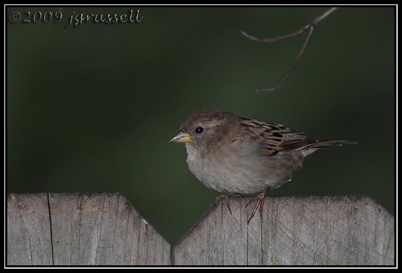 House sparrow<br /> (Better Beamer)