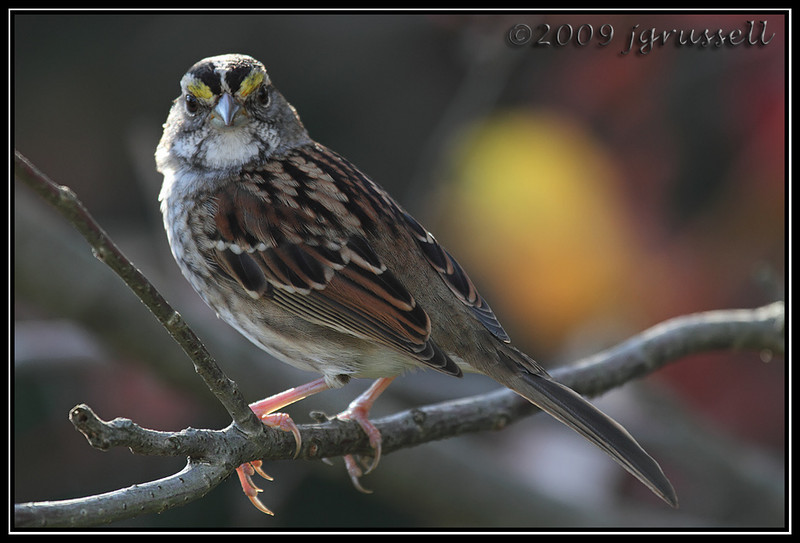 White-throated sparrow<br /> Sandy Hook
