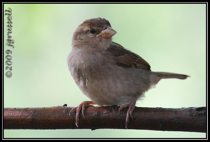 Young female house sparrow