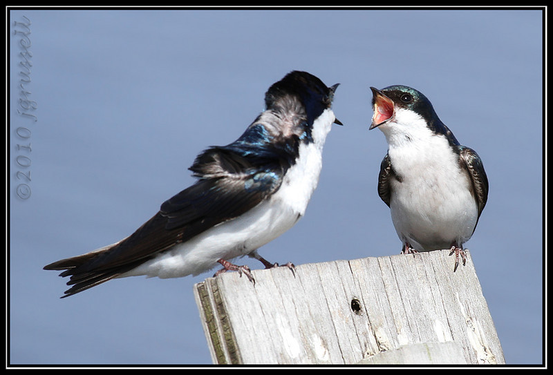 """""""Don't yell at me!""""<br /> Tree swallows<br /> DeKorte Park"""
