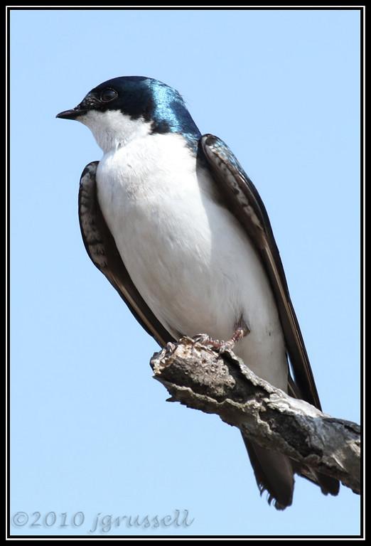 Tree swallow<br /> DeKorte Park