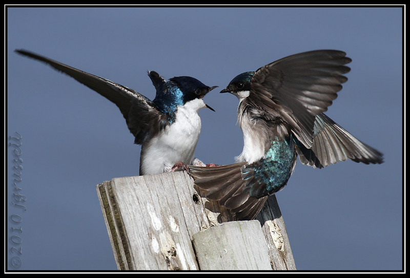 King of the hill<br /> Tree swallows<br /> DeKorte Park