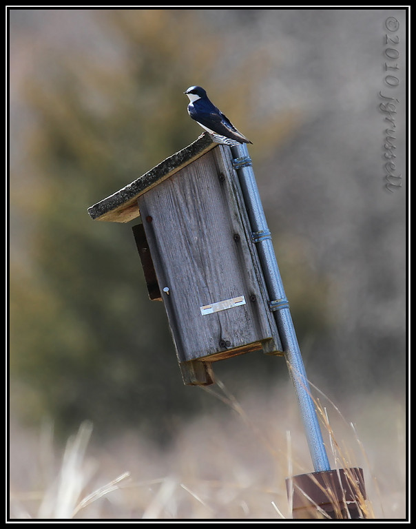 Tree swallow with nest box<br /> Great Swamp NWR
