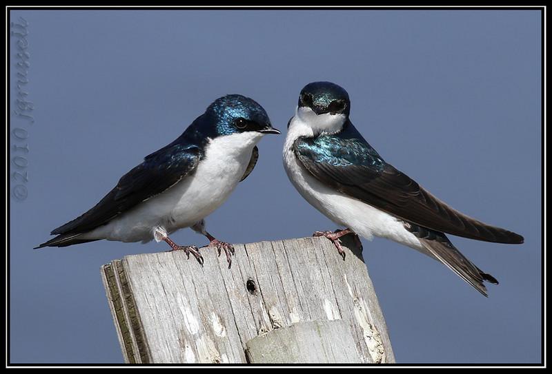 Tree swallows<br /> DeKorte Park