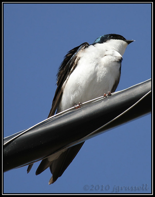 Tree swallow<br /> Great Swamp NWR