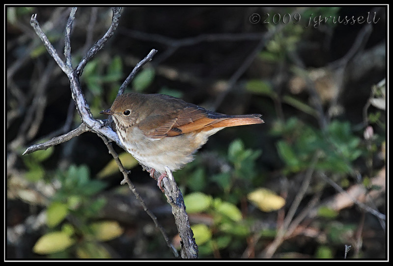 Hermit thrush<br /> Sandy Hook