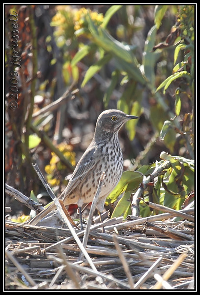Sage thrasher<br /> Sandy Hook 10/20/09