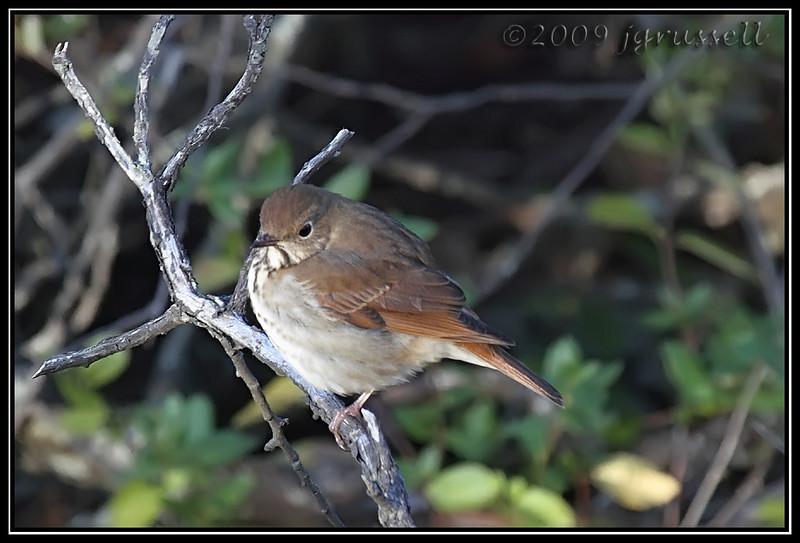 Hermit thrush<br /> Sandy Hook
