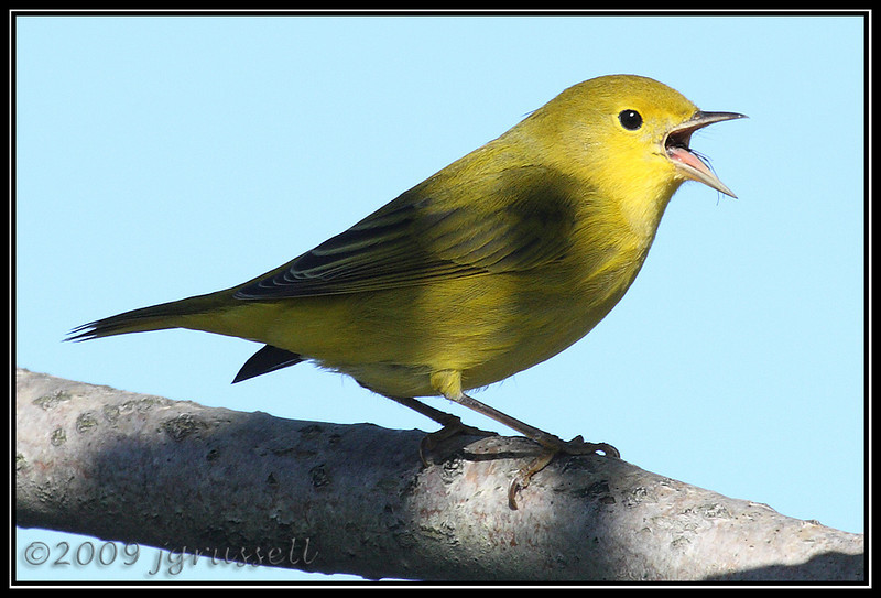 Yellow warbler<br /> DeKorte Park