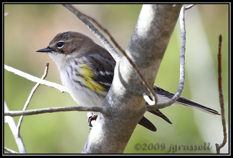 Yellow rumped warbler<br /> Plainsboro Preserve
