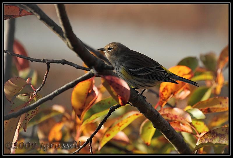 Yellow rumped warbler<br /> Sandy Hook