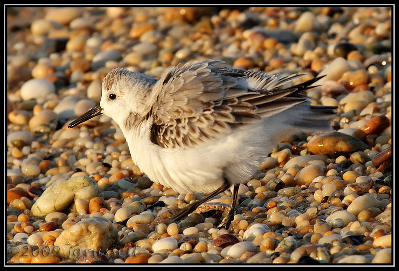 Sanderling fluffing feathers<br /> Sandy Hook