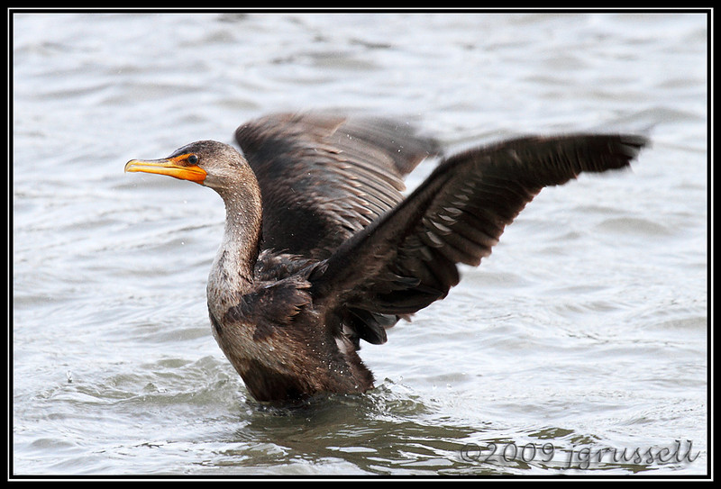 Cormorant<br /> Cape May