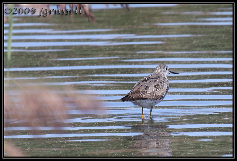 Lesser yellowlegs<br /> DeKorte Park<br /> NJ Meadowlands