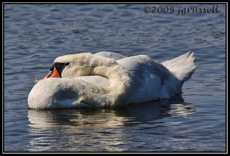 Mute swan<br /> DeKorte Park<br /> NJ Meadowlands
