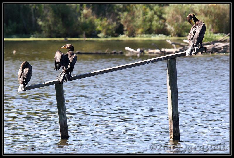 Cormorants<br /> Celery Farm, Allendale