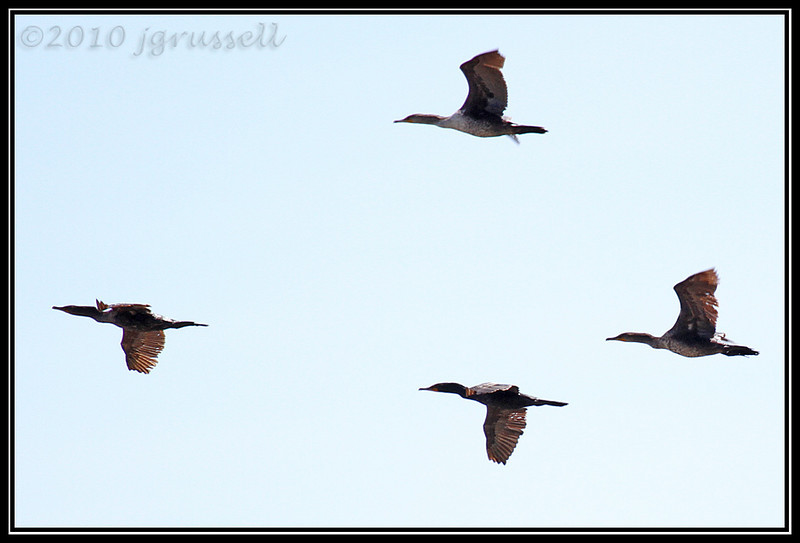 Cormorant flight formation<br /> Forsythe NWR May 2010