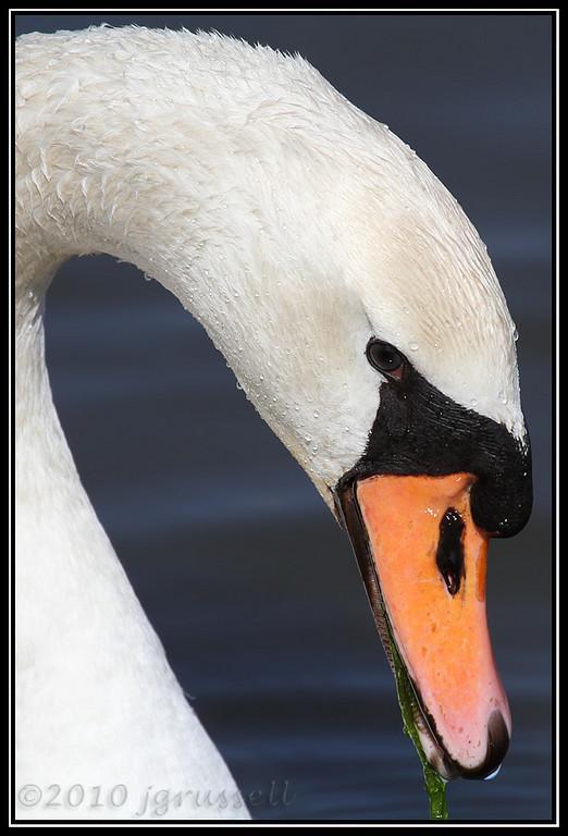 Mute swan<br /> DeKorte Park