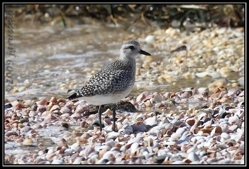 First winter black-bellied plover