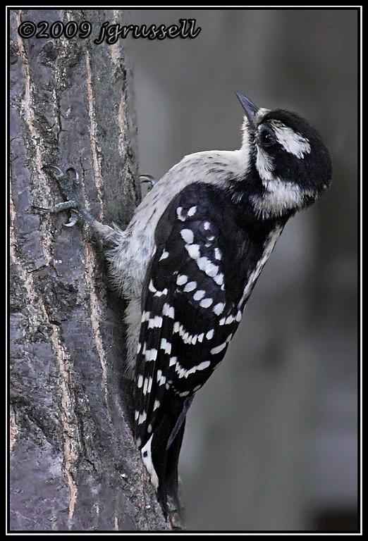 Fledgling downy woodpecker