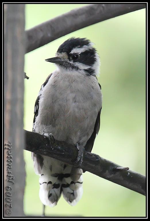 Downy woodpecker<br /> 08 Aug 2009