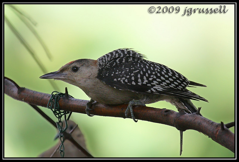 Young red-bellied woodpecker guarding the feeder