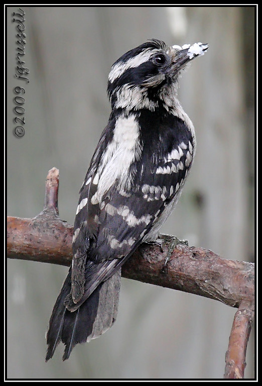 """""""Whadda you mean, you don't want my suet?"""""""