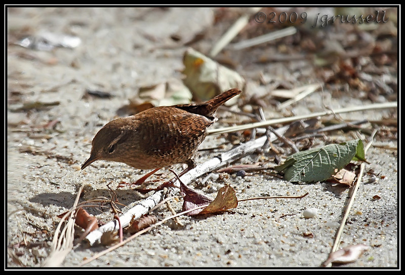 Winter wren<br /> Sandy Hook