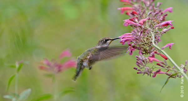 13 Sept: Black-chinned Hummingbird in New Mexico
