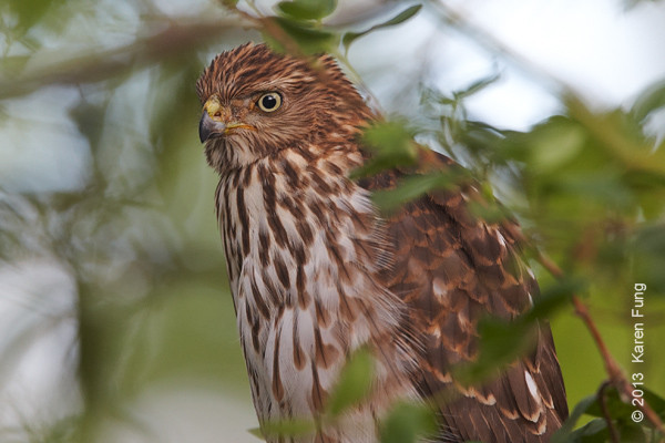12 Sept: Cooper's Hawk in New Mexico