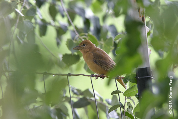 14 Sept: Summer Tanager in New Mexico