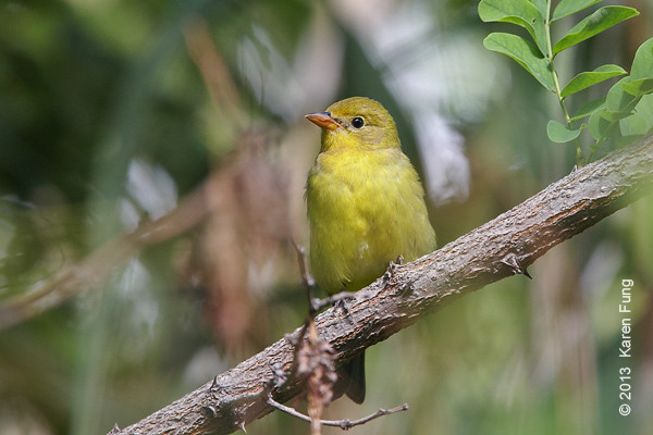 11 Sept: Western Tanager in New Mexico