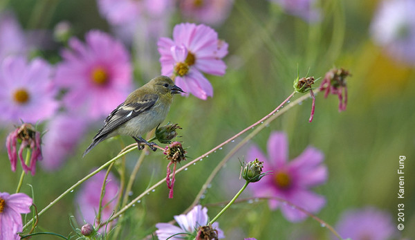 11 Sept: Lesser Goldfinch in New Mexico