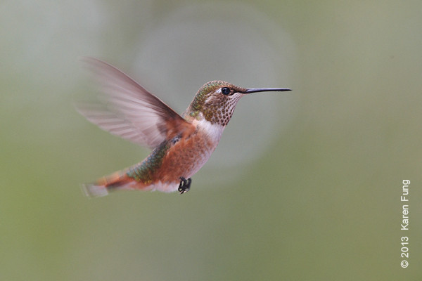 10 Sept: Rufous Hummingbird in Cedar Crest, New Mexico
