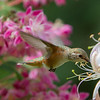 Rufous Hummingbird<br /> 08 JUN 2013