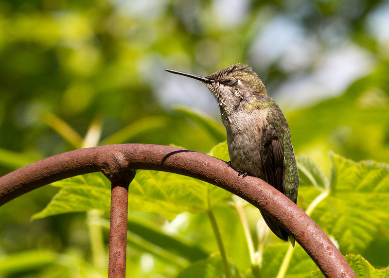 Anna's Hummingbird<br /> 03 JUN 2013