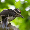 Hairy Woodpecker<br /> 27 MAY 2013