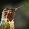 Anna's Hummingbird