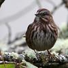 Song Sparrow<br /> 17 JAN 2013