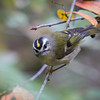 Golden-Crowned Kinglet<br /> 15 OCT 2013