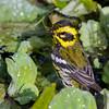 Townsend's Warbler<br /> 15 OCT 2013