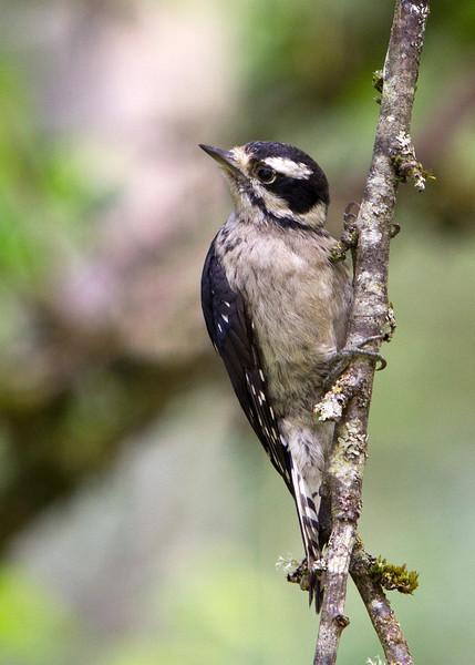 Downy Woodpecker<br /> 04 JUL 2012