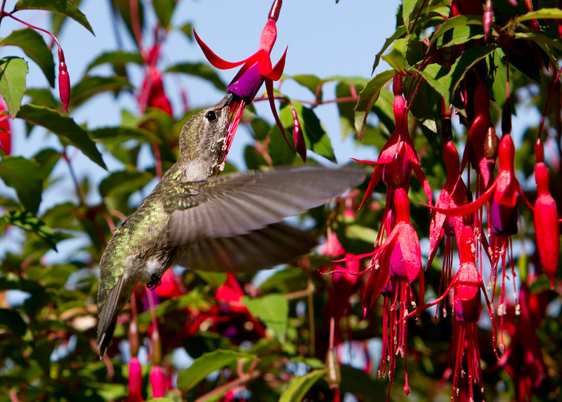 Anna's Hummingbird<br /> 03 JUN 2013