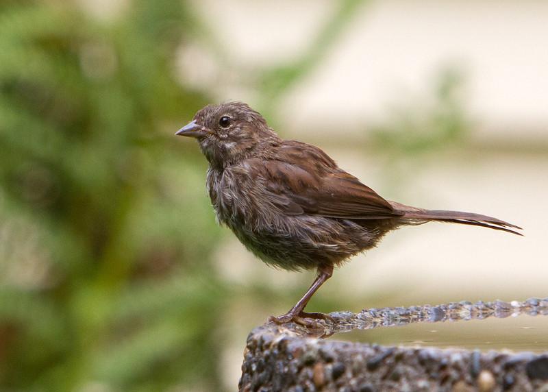 Song Sparrow<br /> 18 JUL 2013