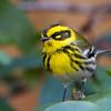 Townsend's Warbler<br /> 05 FEB 2013