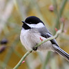 Black-Capped Chickadee<br /> 25 FEB 2013