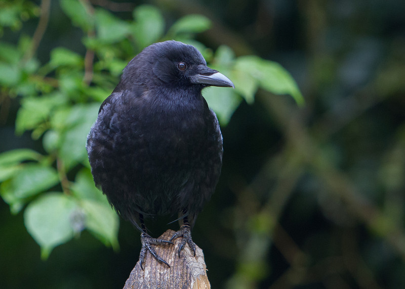 American Crow<br /> 16 MAY 2013
