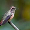 Rufous Hummingbird<br /> 29 JUL 2013