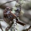 Song Sparrow<br /> 19 FEB 2013