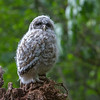 Barred Owl<br /> Lake Forest Park, Washington<br /> 14 May 2013